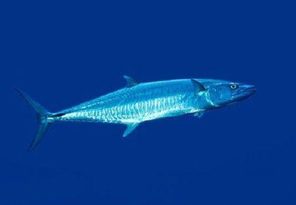 رقم قياسي عالمي لصيد سمكة كنعد بالقصبة