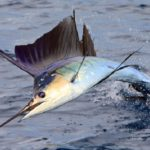 سمكة ابوشراع (Sailfish)