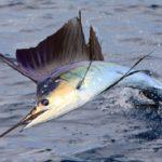 سمكة ابوشراع (Sailfish)